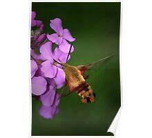 Clearwing Hummingbird Moth II Poster