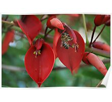 Coral tree and honey bee  Poster