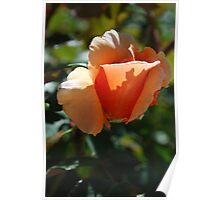 Peach petal shadow Poster