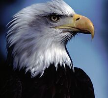 Eagle Bust by Christopher  Boswell