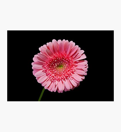 Perfect Pink Gerber Daisy Photographic Print
