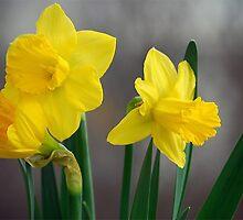 Daffodils by elajanus