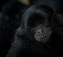 Young Siamang by DanielTMiller