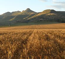 Clarens, South Africa: Wheatfields by stevedunkley