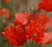 poppies by Annemie Hiele