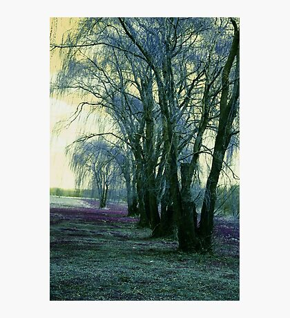 Line of Weeping Willow Trees Photographic Print