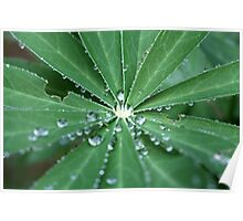 Water drops on a leaf.  Poster