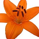 Lily - Best viewed as a card or framed by Mike Paget