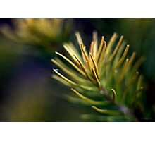 Bottle Brush Leaves - Close Up Photographic Print