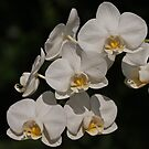 White Orchids by Robert Abraham