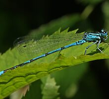 Male Azure Damselfly by Robert Abraham