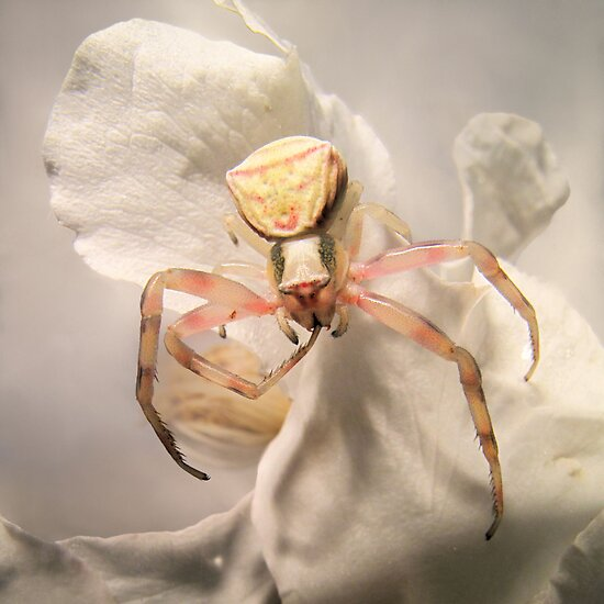 Crab-spider by jimmy hoffman