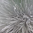 Silversword 1 by Tim Stringer