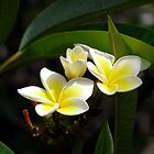 Yellow White Frangipani 4 by Tim Stringer