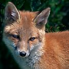 Luna Portait (Red Fox) by Krys Bailey