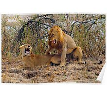 Lions mating in Zambia South Langwa Poster
