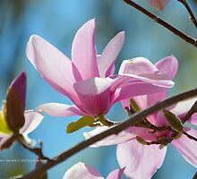 Magnolia × Soulangeana - Saucer Magnolia | Center Moriches, New York by © Sophie W. Smith