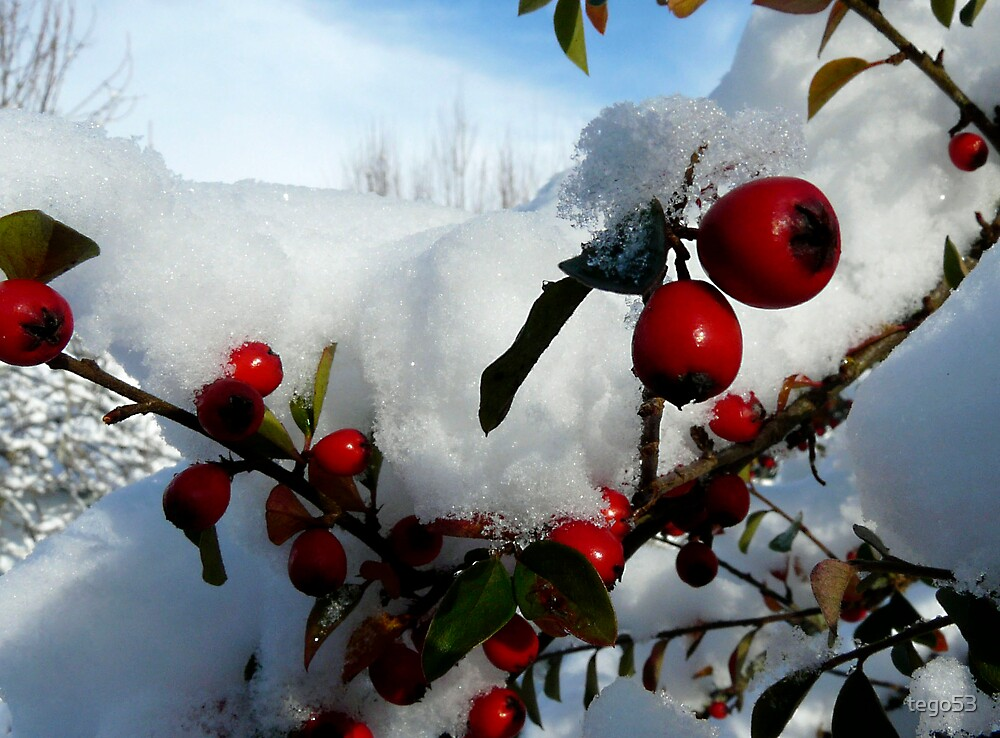 red berries in snow by tego53
