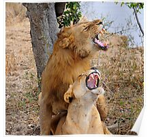 Lions mating in Zambia (Luangwa Valley) Poster