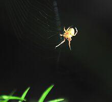 spider, spider burning bright! by Gareth Stamp