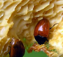 Those Hansome Fungus Beetles by Carla Wick/Jandelle Petters
