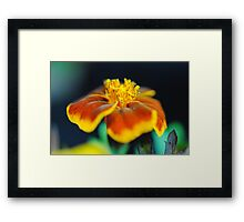 Marigold With Pollen Framed Print