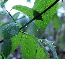 spring green leaves in the rain. by naturematters