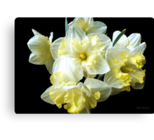 Yellow Ruffled Daffodils Classic Elegant Black 2 Canvas Print