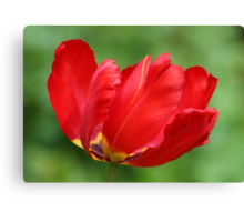 Red Parrot Tulip Canvas Print