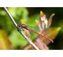 Large Red Damselfly (Pyrrhosoma nymphula) Photographic Print