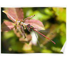 Large Red Damselfly (Pyrrhosoma nymphula) Poster