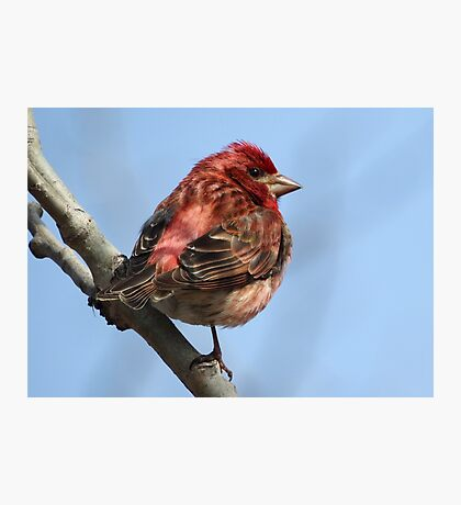 Purple Finch, Blue Sky Photographic Print