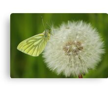 Early Butterfly Canvas Print
