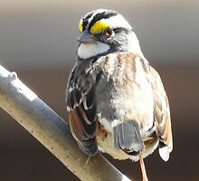 White-throated Sparrow by PeggCampbell