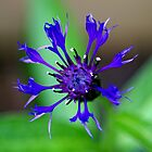 A Corn Flower.....to brighten your Day... by Larry Llewellyn
