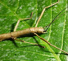 Furry Stick Insect