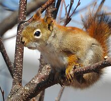 Red Squirrel, Hanging Out by PeggCampbell