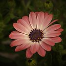 Rose Magic - African Daisy - Cape Daisy by Poete100
