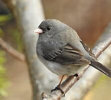 Dark-eyed Junco by PeggCampbell