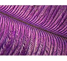 Purple Quill Photographic Print