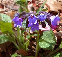 """Pulmonaria or """"Lungwort"""" by DianasEyes"""