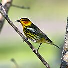 Manitoba Birds by Teresa Zieba