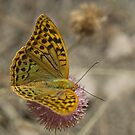 Dark green fritillary by Squealia