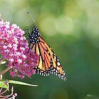 A butterfly by Raodk45