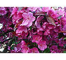 Dark Pink Cherry Blossoms Photographic Print