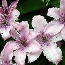 Cluster of Clematis by SKNickel