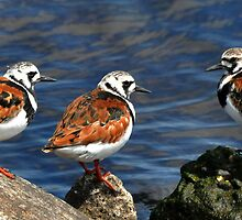 Ruddy Turnstones by Nancy Barrett