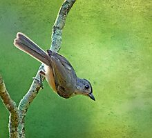 Tilted Tufted Titmouse  by Bonnie T.  Barry