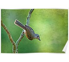 Tilted Tufted Titmouse  Poster