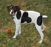 Cute German Short-Haired Pointer by welovethedogs